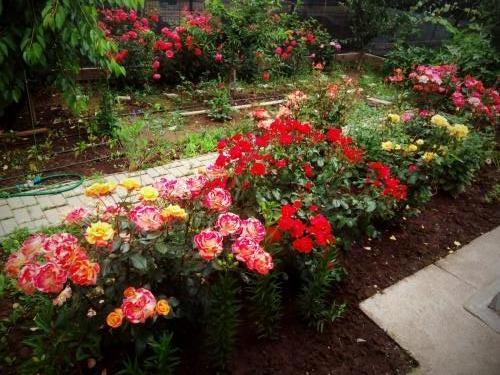 trandafiri viatainbalon